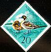 Northern Pintail Anas acuta