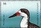 Black Skimmer Rynchops niger