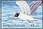 Franklin's Gull Leucophaeus pipixcan