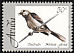Tropical Mockingbird Mimus gilvus  1998 Arubian birds