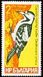 Syrian Woodpecker Dendrocopos syriacus