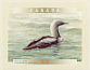 Pacific Loon Gavia pacifica  2000 Birds of Canada Booklet, sa