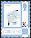 Audouin's Gull Ichthyaetus audouinii  1977 Definitives