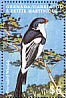 Pin-tailed Whydah Vidua macroura  2000 Birds of the Caribbean