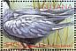 Whiskered Tern Chlidonias hybrida