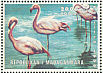 Greater Flamingo Phoenicopterus roseus