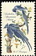 Black-throated Magpie-Jay Calocitta colliei  1963 Audubon